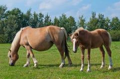 Cavalla ed il suo foal che pascono in un prato Fotografia Stock