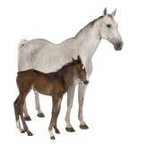 Cavalla ed il suo foal, levantesi in piedi Immagine Stock Libera da Diritti