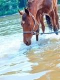 Cavalla piacevole della baia in fiume Immagini Stock Libere da Diritti