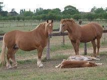 Cavalle e Foals del punzone della Suffolk Fotografia Stock Libera da Diritti
