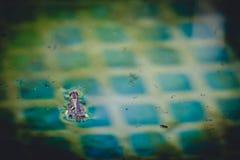 Cavalletta che galleggia nell'acqua dello stagno Fotografie Stock