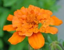 Cavalletta che riposa su un fiore del tagete Fotografia Stock
