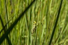 Cavalletta che si siede nell'erba fotografia stock