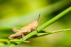 Cavalletta che si siede sull'erba Fotografia Stock