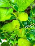 Cavalletta del bambino nella pianta del peperoncino rosso fotografia stock libera da diritti