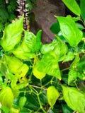 Cavalletta del bambino nella pianta del peperoncino rosso fotografia stock