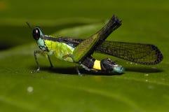 Cavalletta dell'azzurro verdastro Fotografia Stock Libera da Diritti