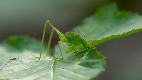 Cavalletta dell'insetto nell'erba video d archivio