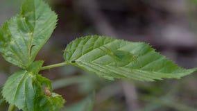 Cavalletta dell'insetto nell'erba archivi video