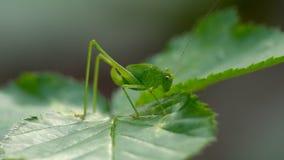 Cavalletta dell'insetto nell'erba stock footage