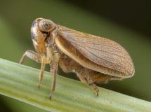Cavalletta della vespa dei maculifrons di Muslsantereum che posa sulla foglia verde immagini stock libere da diritti