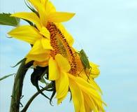 Cavalletta di canto sul fiore Fotografie Stock Libere da Diritti