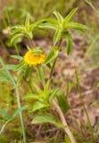 Cavalletta di Tettigonia Katydid su Starwort coperto di spine Fotografie Stock