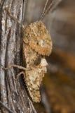Cavalletta (fallaciosus di Ocnerodes) immagini stock