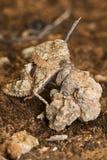 Cavalletta (fallaciosus di Ocnerodes) fotografie stock