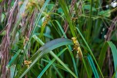 Cavalletta gialla fotografie stock libere da diritti