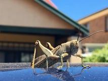 Cavalletta gigante della locusta sul tetto dell'automobile Immagine Stock