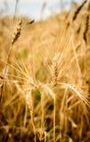 Cavalletta nel giacimento di grano Immagini Stock Libere da Diritti