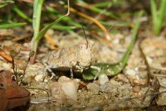 Cavalletta rossa della sabbia (caerulans di Sphingonotus) Immagini Stock Libere da Diritti