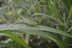Cavalletta su un'erba verde Fotografia Stock Libera da Diritti