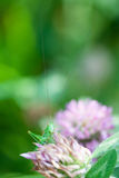 Cavalletta su un fiore del trifoglio La pianta colora l'immagine con il grande viridissima verde di Tettigonia del Bush-cricket M fotografie stock libere da diritti