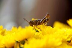 Cavalletta sul fiore giallo luminoso Immagini Stock