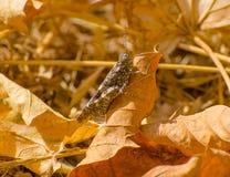 Cavalletta sulle foglie asciutte fotografie stock