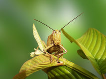 Cavalletta sulle foglie della guaiava Fotografia Stock Libera da Diritti