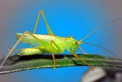 Cavalletta verde fotografie stock libere da diritti