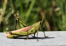 Cavalletta verde Fotografia Stock Libera da Diritti