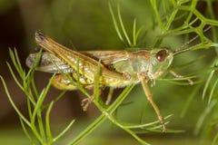 Cavalletta verde (apicalis di Chorthippus) immagini stock