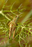 Cavalletta verde (apicalis di Chorthippus) fotografia stock libera da diritti
