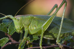 Cavalletta verde (cantans di Tettigonia) Fotografia Stock Libera da Diritti