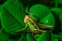 Cavalletta verde che si siede sulla fine estrema della foglia dell'erba su fotografia stock