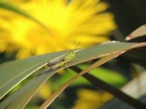 Cavalletta verde comune Fotografia Stock Libera da Diritti