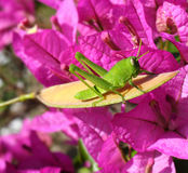 Cavalletta verde davanti a Bougainville rosso magenta Fotografia Stock