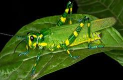Cavalletta verde e gialla fotografie stock libere da diritti