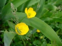 Cavalletta verde sui fiori del ranuncolo Immagine Stock Libera da Diritti