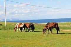 Cavalli. Fotografie Stock Libere da Diritti