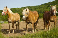Cavalli. Three horses waiting to be saddled royalty free stock photo