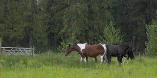 Cavalli fotografie stock