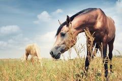 Cavalli Immagini Stock Libere da Diritti