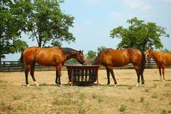 Cavalli fotografie stock libere da diritti