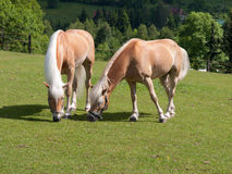 Cavalli Fotografia Stock Libera da Diritti