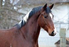 Cavalli 109 Fotografie Stock