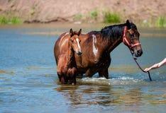 Cavalli in acqua Fotografie Stock