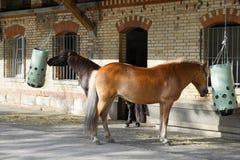 Cavalli ad un'azienda agricola in Svizzera Fotografia Stock