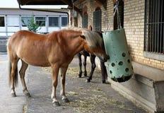 Cavalli ad un'azienda agricola in Svizzera Fotografie Stock Libere da Diritti