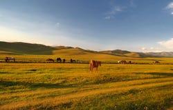 Cavalli al tramonto sull'erba in montagne del Kirghizistan immagini stock libere da diritti