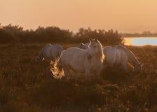 Cavalli all'alba Immagini Stock